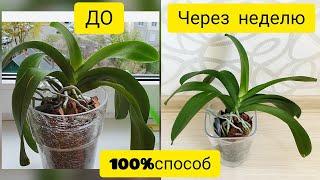 Уход за орхидеями || Восстановить тургор орхидеи за неделю