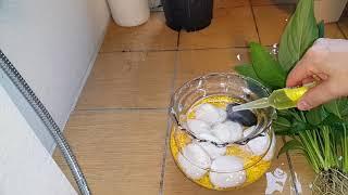 스파트필름 수경재배 (물갈아주고 영양제 투입)