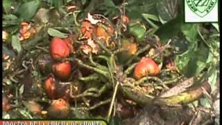 Elaboracion de la Chicha de Chonta en Napo_ Amazonia_Ecuador