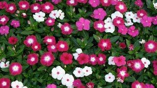 12 Flores De Cultivo Fácil Com Sementes