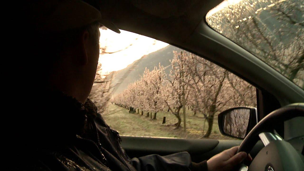 dans les vergers, les producteurs protègent les abricots du gel