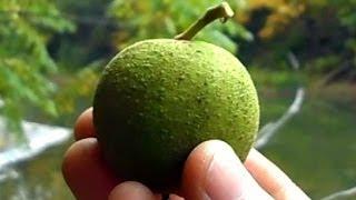 Wild Food Foraging- Black Walnuts