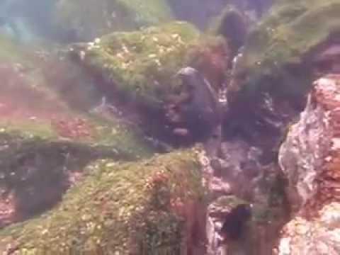 Galapagos Marine Iguana Feeding on Algae