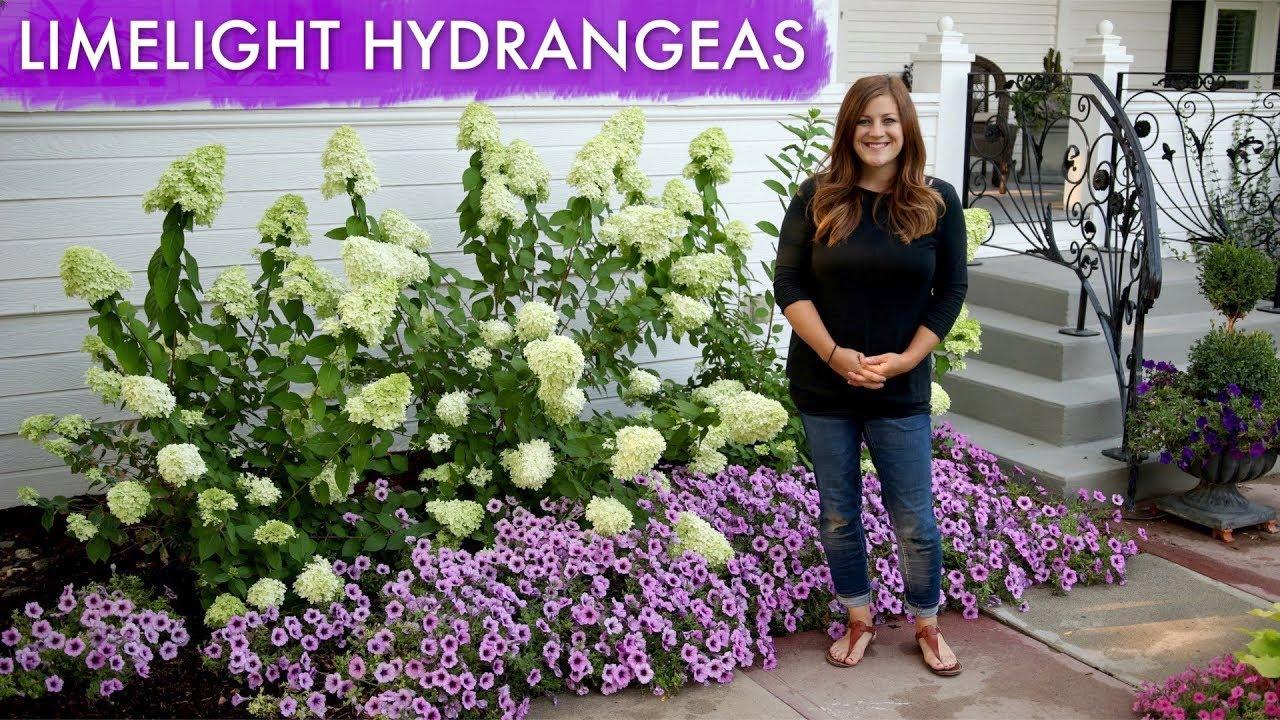 Limelight Hydrangeas 1 Year Update Garden Answer Youtube