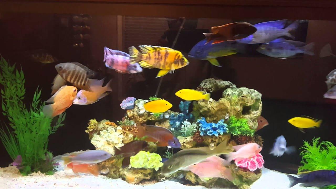American Cichlid Tank Frontosa Severum Hoplarchus Psittacus Temporalis Tiger Fish By Max Bubis