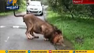 Watch Video | Thirsty Lion Drinking Water | Gujarat