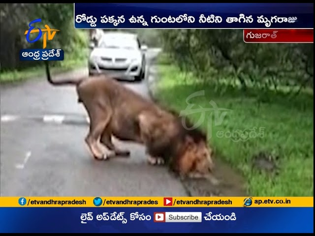 Watch Video | Thirsty Lion Drinking Water | Gujarat