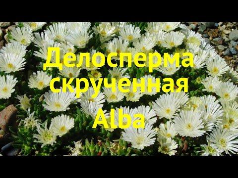Делосперма скрученная Альба. Краткий обзор, описание характеристик delosperma congestum alba Alba