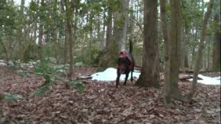 Chocolate Lab Training For Search & Rescue - (1/2)