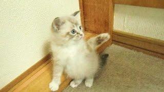 フラットコーテッドレトリーバーのココちゃんは初めて見た子猫に興味津...