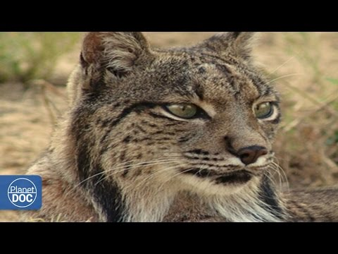 Iberian Lynx | Full Documentary