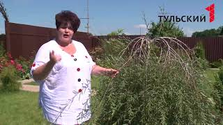 видео Рябинник рябинолистный в ландшафтном дизайне: применение, виды, сорта, посадка