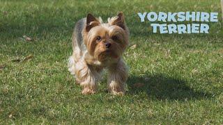 Yorkshire Terrier 101 [Full Dog Breed Information]