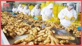 Amazing Modern Ginger Farming Technology. Modern Ginger Processing Factory. Ginger Harvest Machines