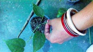 How to grow black pepper plant at home  quick propagation technique
