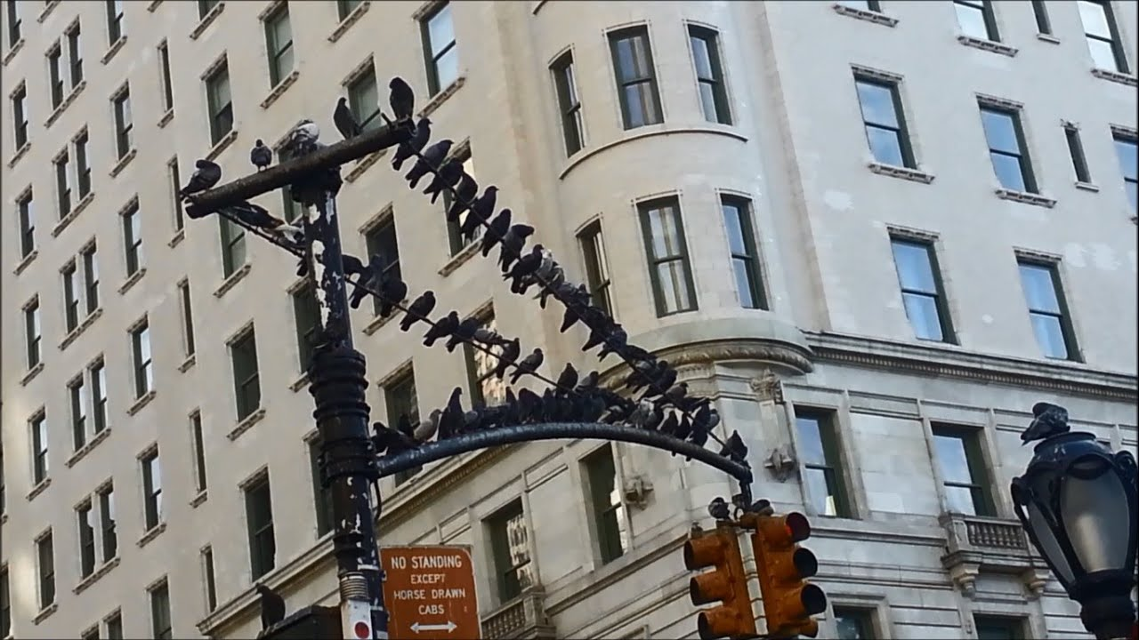 Birds And Pigeons In New York City Near Central Park