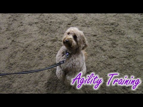 Cockapoo Dog Training Youtube