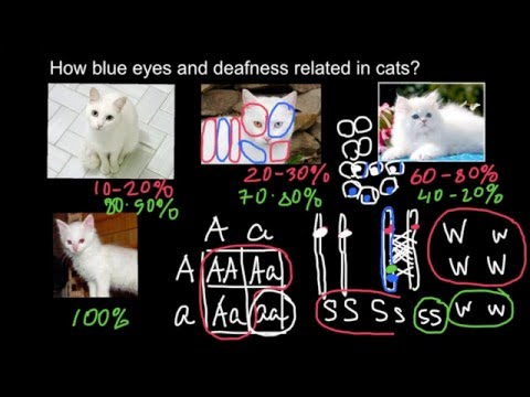 How blue eyes and deafness related in cats?