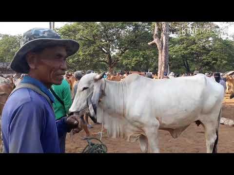 นายฮ้อยซี8:Ep172ราคาวัวขาว20เมษายน2562ตลาดซื้อขายโคกระบือ จังหวัดร้อยเอ็ด