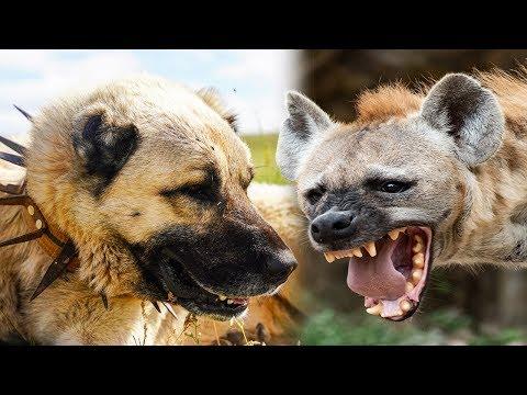 Kangal Vs Hyäne - Wer Würde Gewinnen?
