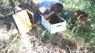 Exposed Bee Hive Removal at job site by Luis Slayton of Bee Strong Honey and Bee Removal part 7