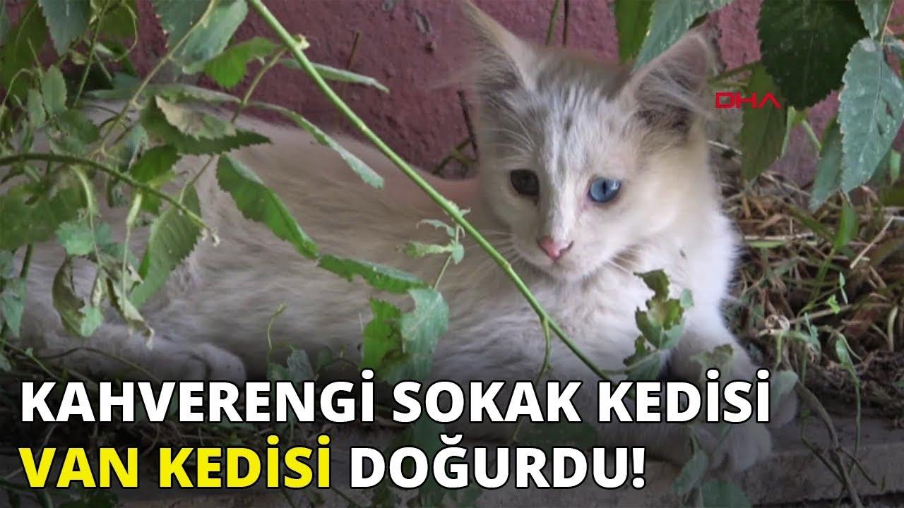 Kahverengi sokak kedisi, Van Kedisi doğurdu