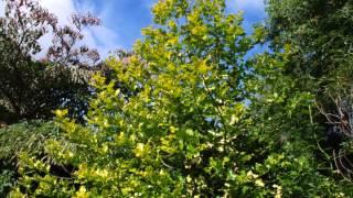 Ilex aquifolium 'Flavescens' video