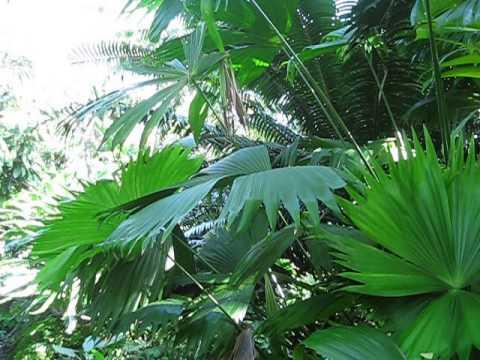 Carludovica palmata Panama Hat Plant, Fairchild, Miami