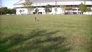 Italian Grey hound かなり本気で走ってます。