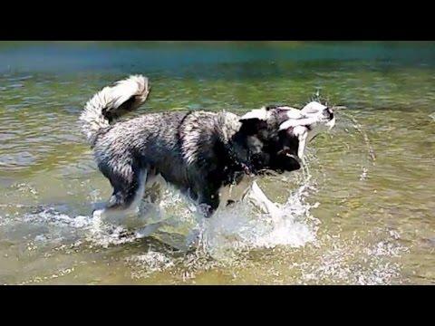 Amazing Siberian Husky Dog Shaking off Water in Slow Motion