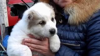 ГРОЗНАЯ ПОРОДА собак АЛАБАЙ. Dangerous dog breed ALABAY.Odessa.
