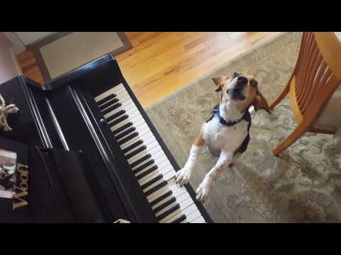 Buddy Mercury Up Close & Personal Singing Beagle Basset Hound Mix!
