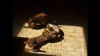 Бенгальские котята - чудо леопардики