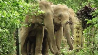 Elephants in Tezpur