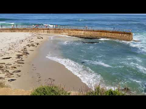 Seals Pupping Season at La Jolla Beach, San Diego