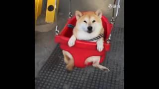 Adorable smiling shiba inu enjoys swinging in playground