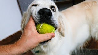 Funny Dog Bailey Plays with Tennis Ball with His Owner