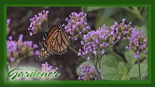 Butterfly and Hummingbird attractor plants | Volunteer Gardener