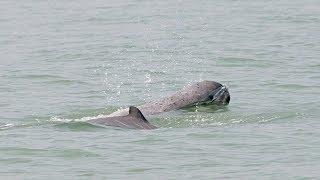 Редкие речные дельфины Мьянмы снова начинают доверять людям