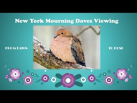 New York Mourning Doves Viewing | Day 8 | Stop raining plz!!