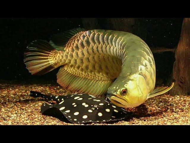 5 Jenis Ikan Hias Yang Boleh Dicampur Dengan Arowana Aquarium Air Tawar Youtube
