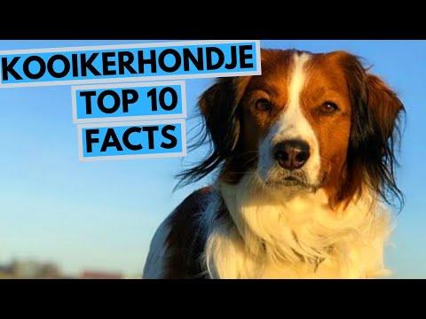 Kooikerhondje - TOP 10 Interesting Facts