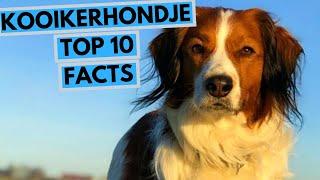 Kooikerhondje  TOP 10 Interesting Facts