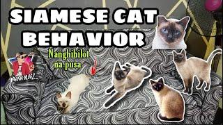 SIAMESE CAT BEHAVIOR   NANGHIHILOT NA PUSA