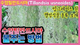 수염틸란드시아 물주기와 거실정원 행잉플랜트 종류 소개합…