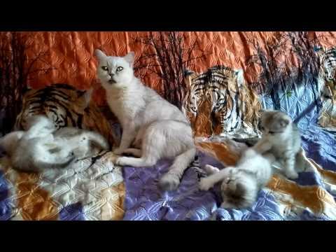 Шотландские котята! 1 мес. 2 нед.!  Нас скоро станет четверо!