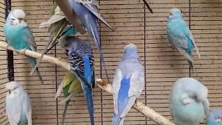 ☕ Умиротворенные волнистые попугаи после дождя