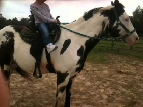 APHA Black & and white gelding paint horse for sale Bandit ...
