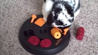 Bunny Playing with his Trixie Logic Toy Flip Board