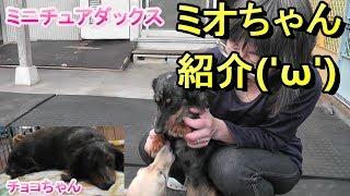【ミニチュアダックス】ドッグハウスのミオちゃん紹介(*´▽`*)